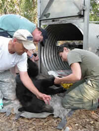 The research of David Maehr, died in a plane crash in 2008 with agricultural and conservation leader Mason Smoak has been the foundation of efforts to preserve Florida's black bear habitat.