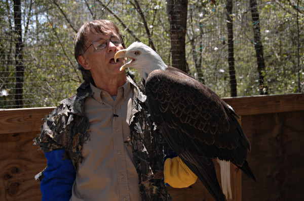 Critical Linkages Photographer John Spohrer interacts with a bald eagle, a unique opportunity presented through his work with the Florida Wild Mammal Association.