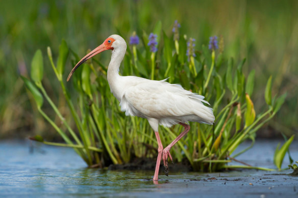 A white ibis, posed handsomely for Critical Linkages Photographer John Moran. He lays among the mud to capture the essence of this magnificent bird in the Volusia Conservation Corridor.
