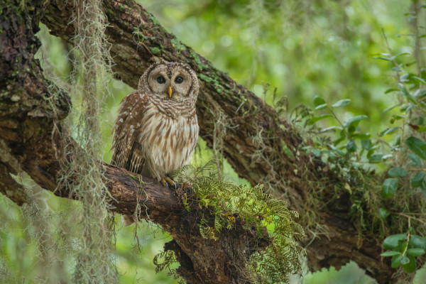 Critical Linkages Photographer Carlton Ward discovers an owl taking shelter from the rainstorm he found at Camp Lonesome Ranch, a section of the Big Bend Swamp-Holopaw Ranch.