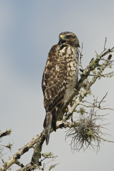 A hawk awaiting the hunt, perches on a tree branch in the Ranch Reserve. Photograph by Critical Linkages Photographer Jason Hahn.