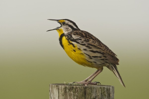 We can almost hear the song of this Western Meadowlark, seen by Critical Linkages Photographer Jason Hahn in the Ranch Reserve.