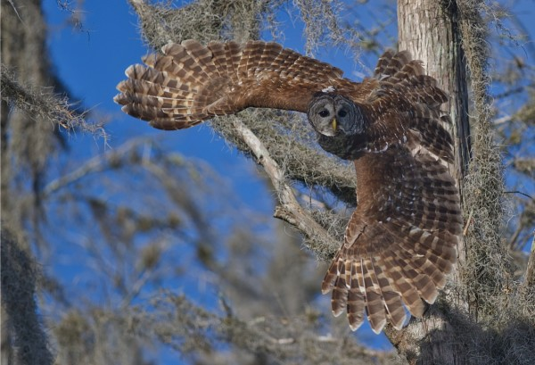 By using a call, Critical Linkages Photographer John J. Lopinot called this barred owl to him in the Fisheating Creek Ecosystem.
