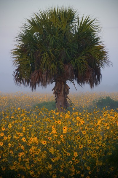 Critical Linkages Photographer John J. Lopinot captures the Florida state wildflower, Tickseed (Coreopsis), and the Florida state tree, the Sabal palm, on a foggy morning in the Fisheating Creek Ecosystem.