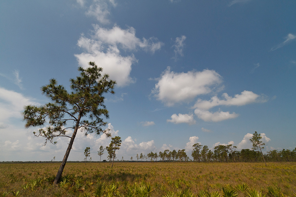 Palmetto and Pines by Jason Hahn