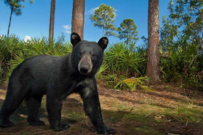 Florida's black bears require many different habitats throughout the year to find food and mates. Their travels are accomplished through corridors that connect the hotspots that support their diet. Photo by Carlton Ward.