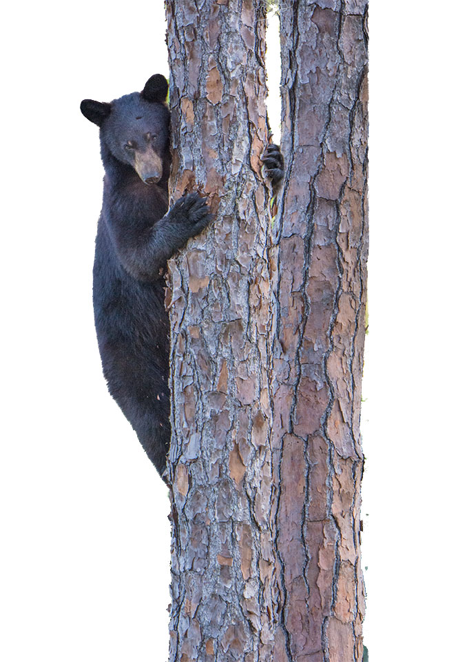bear treks