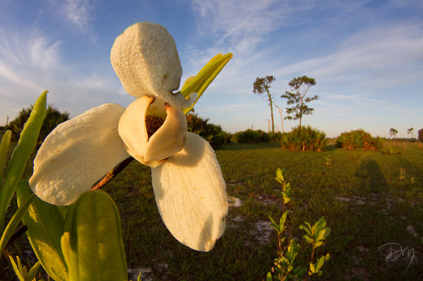 With assistance from Critical Linkages Photographer David Moynahan, this scrub pawpaw demonstrates the eye-catching glamour of nature's abstracts. Photo taken along the Kissimmee-St. John's River Connector.